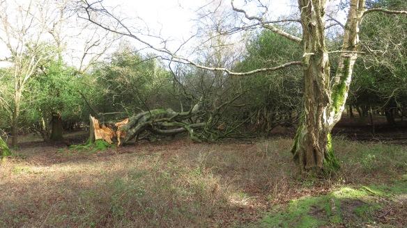 Shattered fallen tree