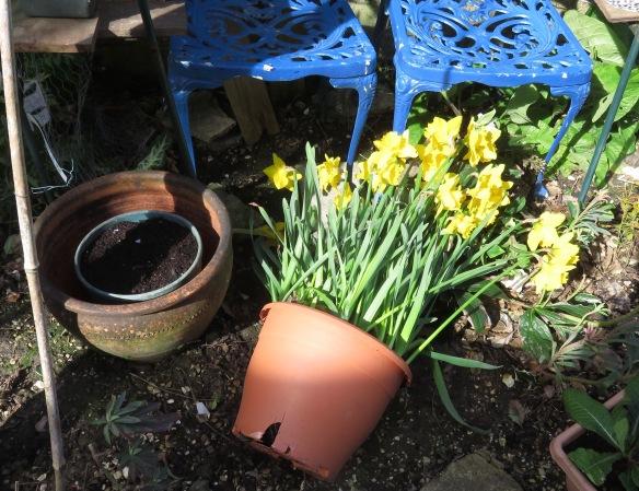 Daffodils blown down