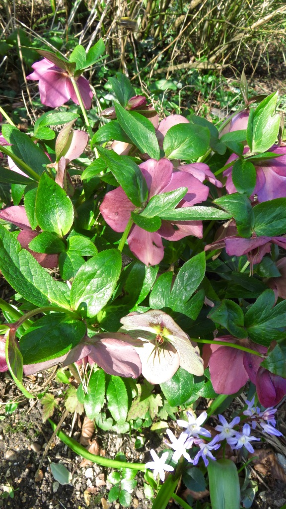 Hellebores and another bulb