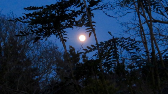 Moon and mahonia
