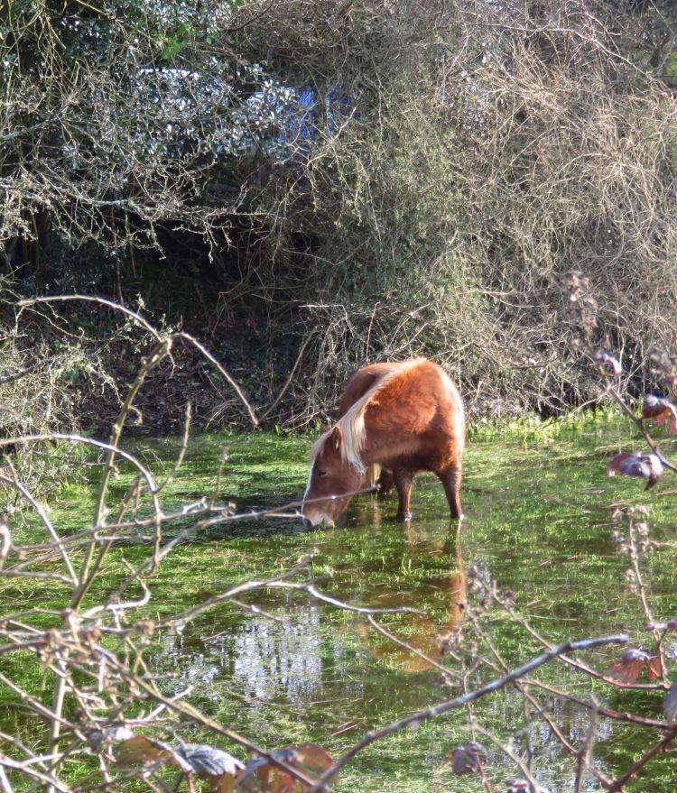 Pony drinking 3