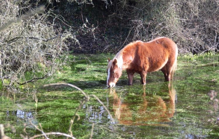 Pony drinking 4