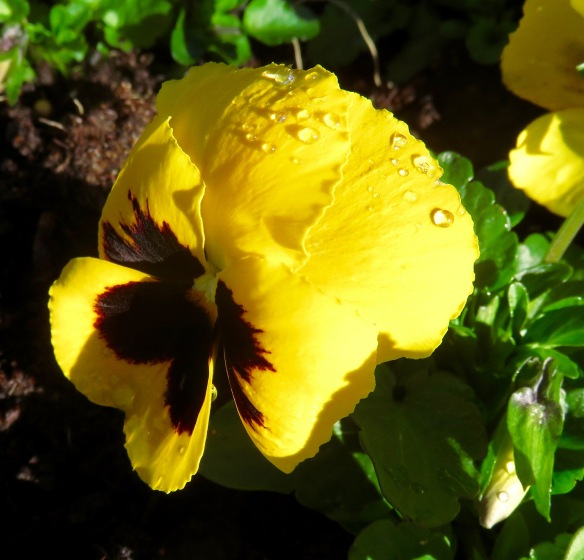 Raindrops on Pansy