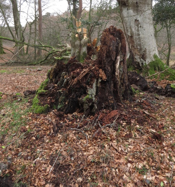 Stump and fallen tree