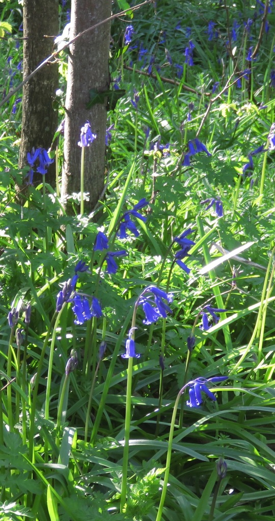 Bluebells English