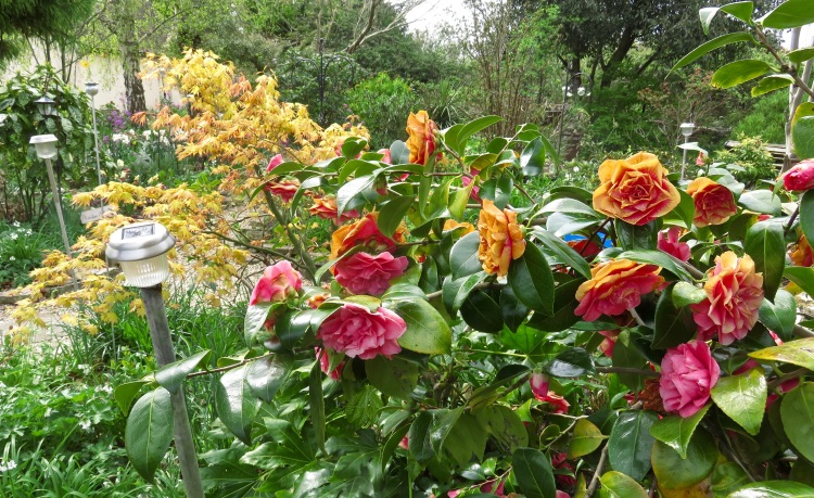 Camellias and Japanese maple