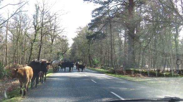 Cattle on road 5