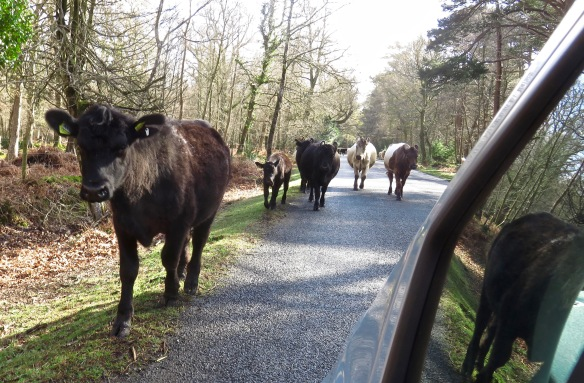 Cattle on road 6