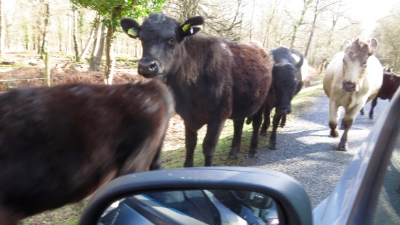 Cattle on road 7