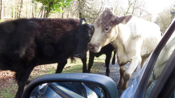 Cattle on road 8
