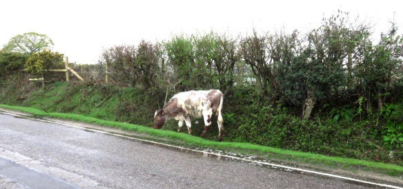 Cow in ditch