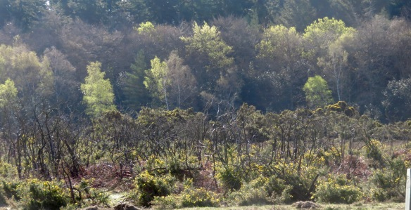 Gorse and trees