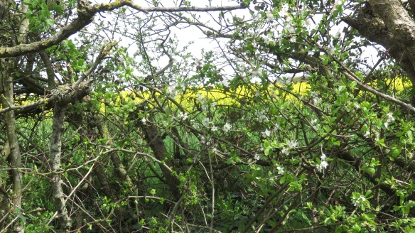 Hawthorn hedge and rape field