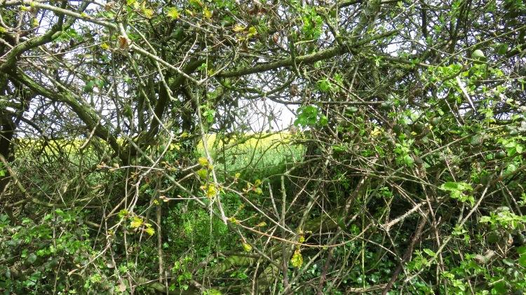Hedgerow and rape field 1