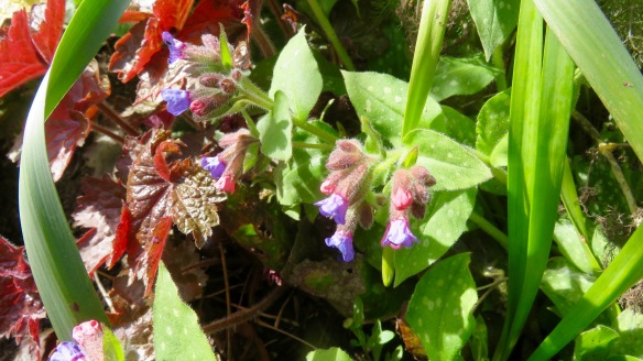 Pulmonaria and heuchera
