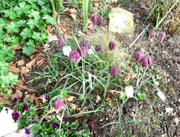 Snake's Head fritillaries