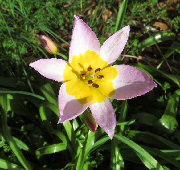 tulipa saxatilis lilac wonder
