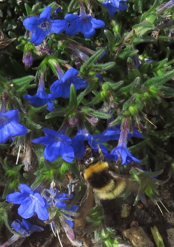 Bee and lithodora