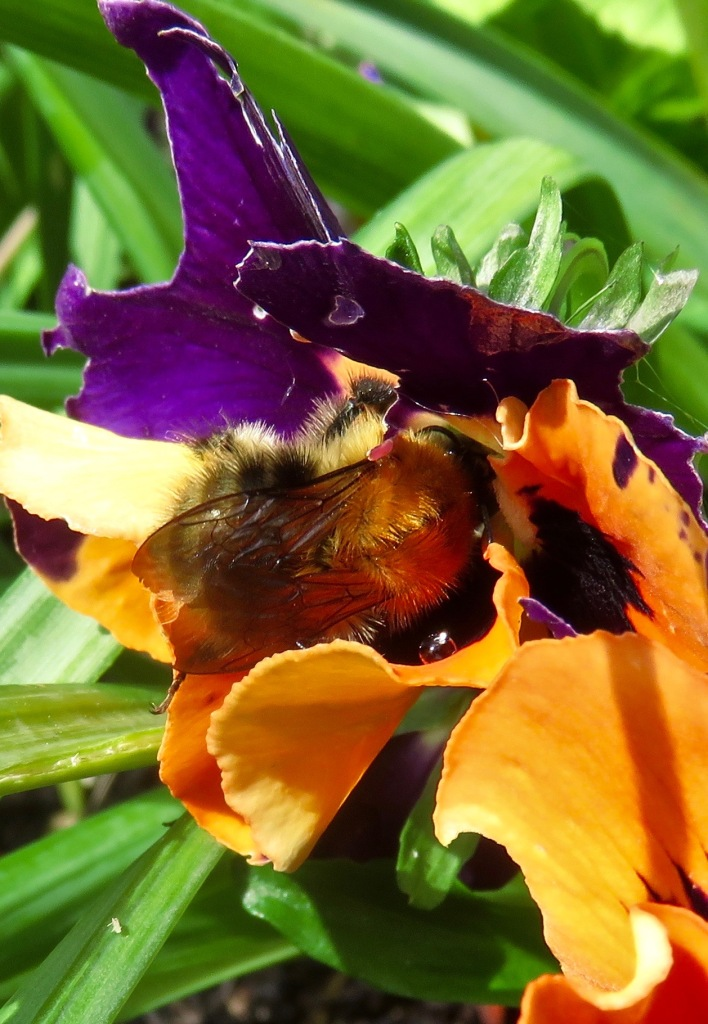 Bee in pansy 1