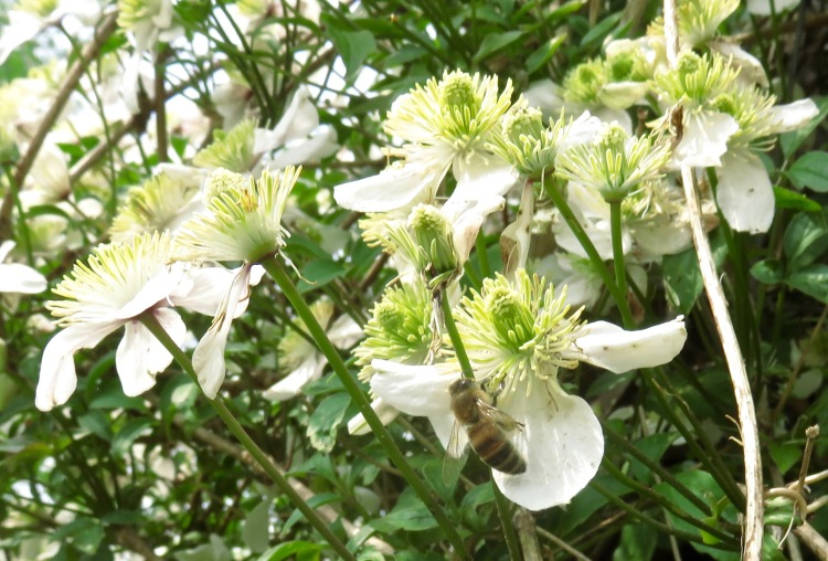 Bee on clematis Montana