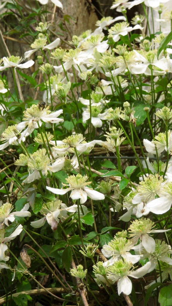 Clematis Montana with bee