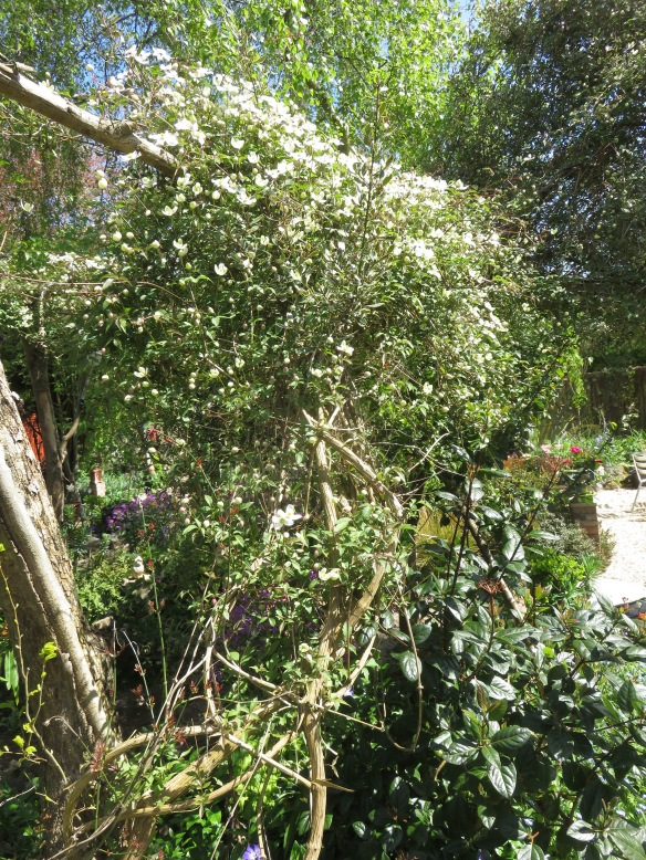Clematis Montana arch 3