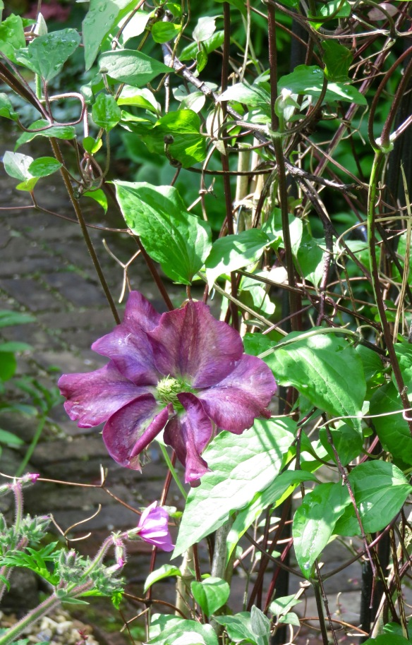 clematis Star of India