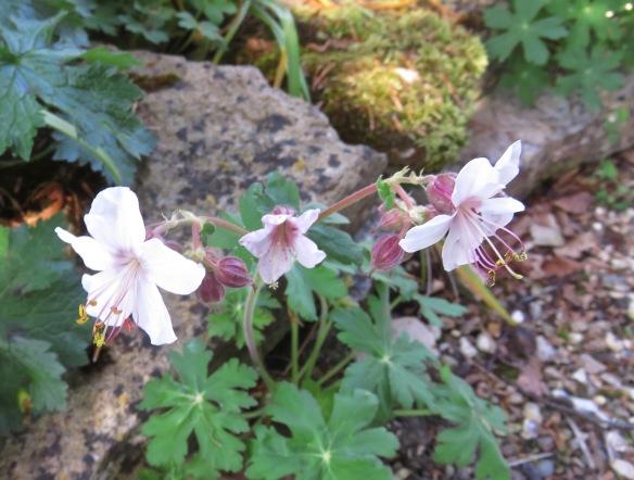 Crane's bill geraniums