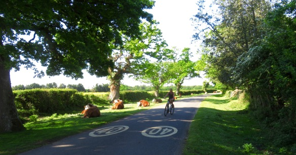 Cyclist and cattle