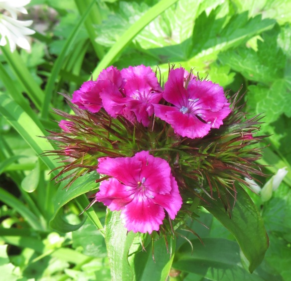 Dianthus Sweet William