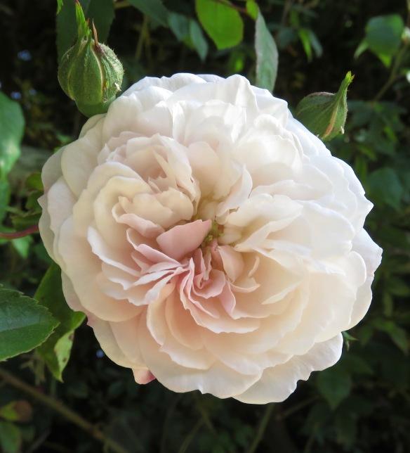 rose Félicité Perpetué
