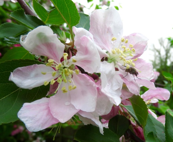 Fly and raindrops on crab apple blossom