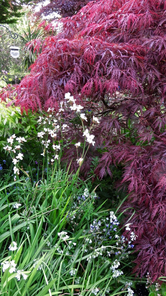 Libertia and red Japanese maple