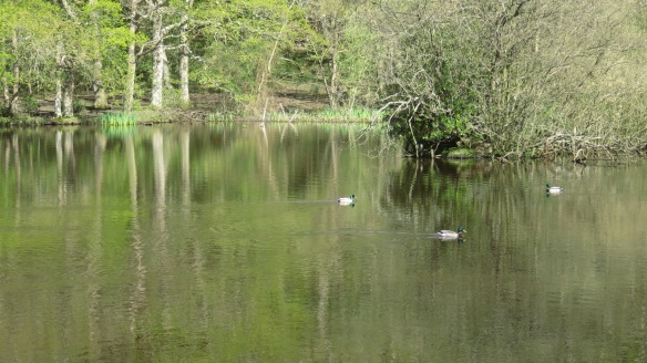 Mallards on Eyeworth Pond