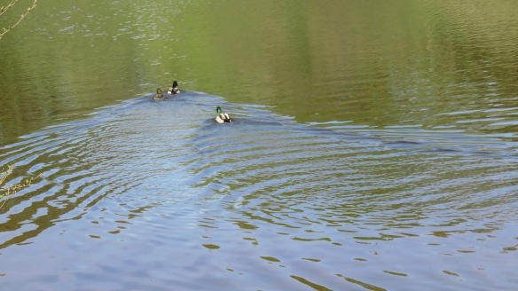 Mallards three