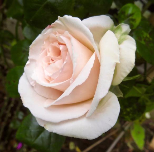Rose Penny Lane