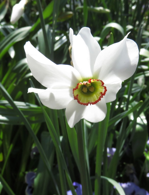 Pheasant's eye narcissus
