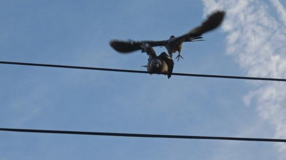 Pigeons 3