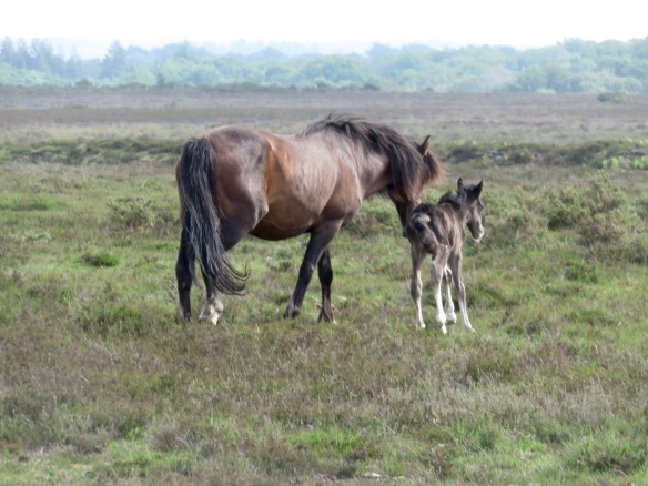 Pony and foal 1