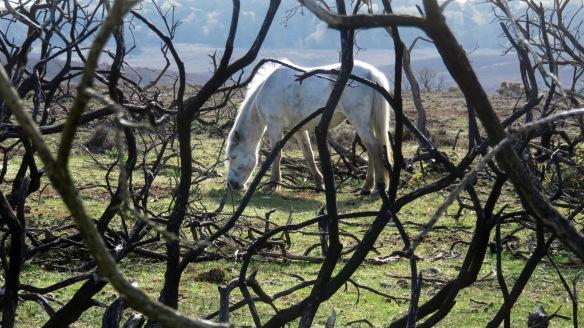 Pony behind burnt stalks