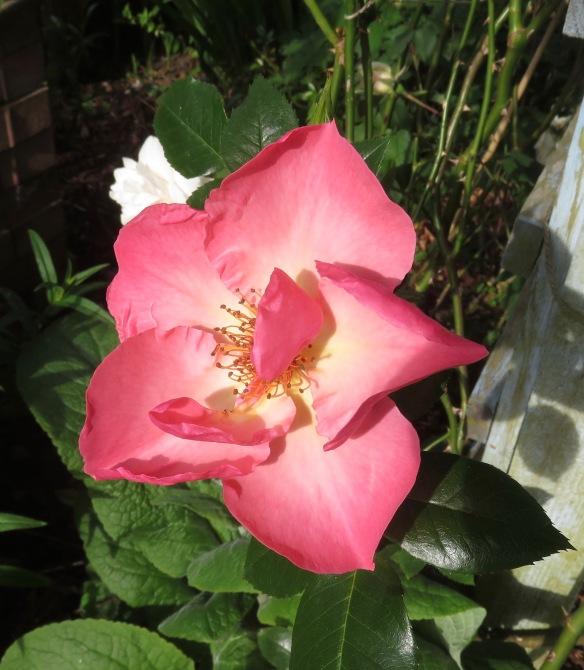 rose Summer Wine 2