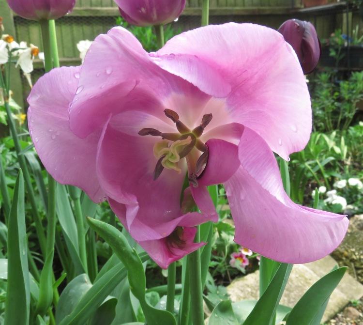 Tulip and raindrops
