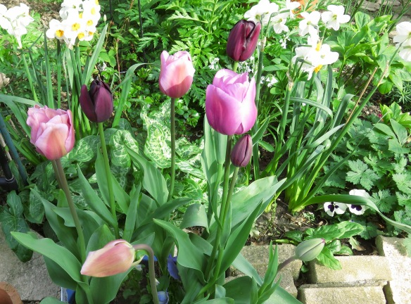 Tulips, daffodils a,d pansies