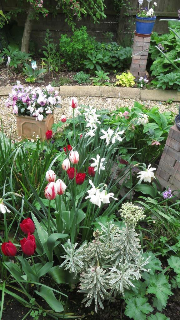 Tulips bed in front garden