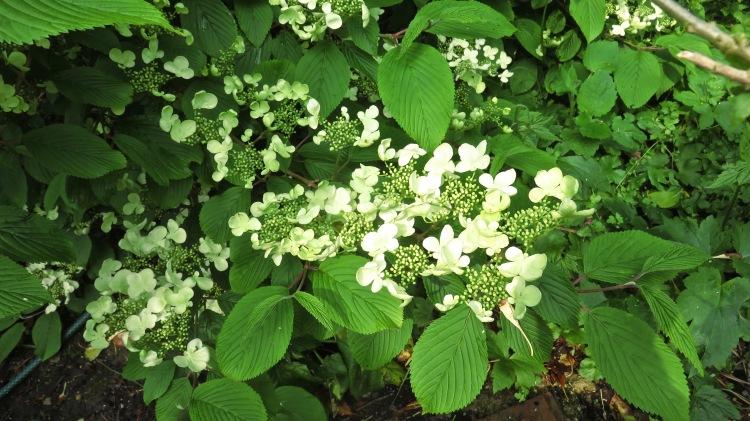Viburnum plicatum 1