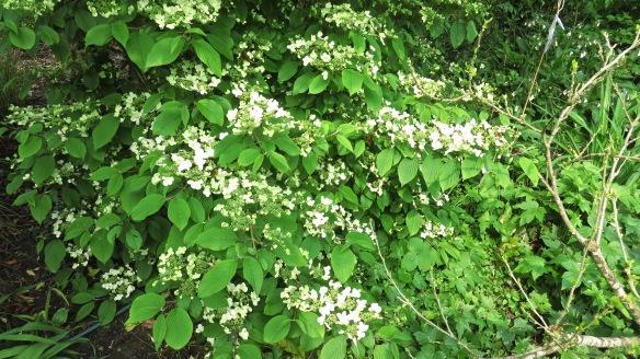 Viburnum plicatum 2