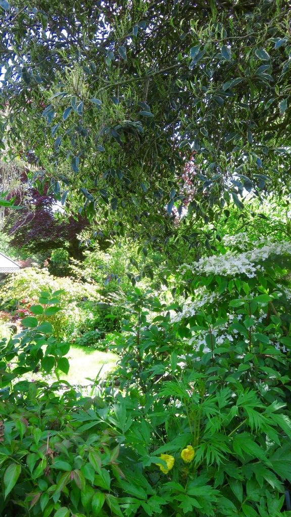 View from behind viburnum plicatum