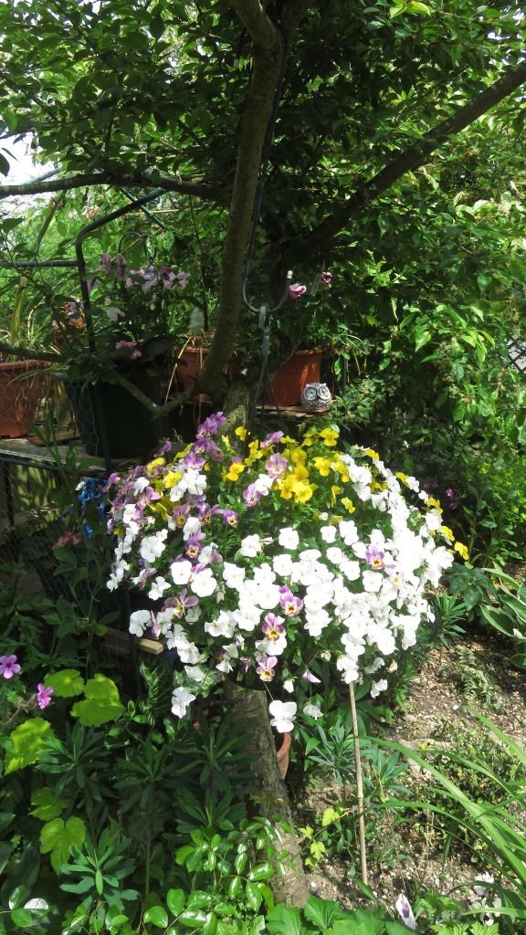 Violas in hanging basket