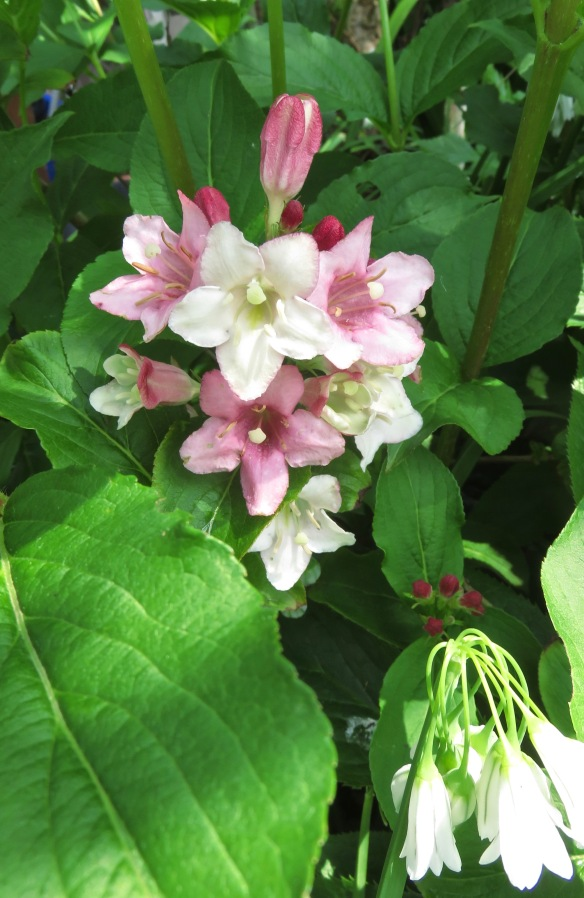 Weigela and allium