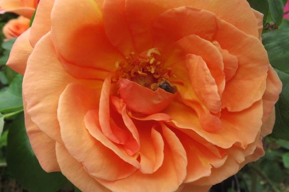 Bee in peach rose
